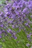 Honingbij op een lavendelbloem Stock Foto's