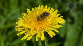 Honingbij op een macro van het paardebloemportret met bokehachtergrond, selectieve nadruk, ondiepe DOF stock fotografie