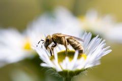 Honingbij op een madeliefjebloem Stock Foto