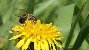 Honingbij op een paardebloem stock videobeelden