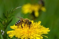 Honingbij op een Paardebloem die nectar verzamelen royalty-vrije stock fotografie