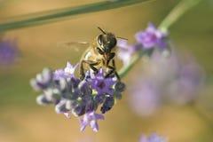 Honingbij op een Purpere Bloem Royalty-vrije Stock Fotografie