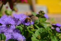 Honingbij op een purpere bloem dicht-ap royalty-vrije stock fotografie