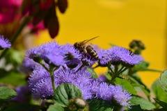 Honingbij op een purpere bloem dicht-ap stock afbeelding