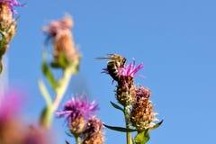 Honingbij op een roze bloem stock afbeelding