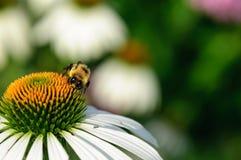 Honingbij op een witte bloem Stock Afbeelding
