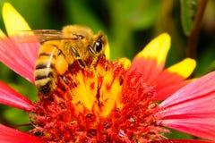 Honingbij op Firewheel-Bloem stock foto's