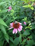 Honingbij op Kegelbloem Royalty-vrije Stock Afbeeldingen