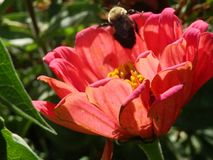 Honingbij op koraalbloem Stock Afbeeldingen