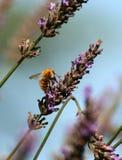 Honingbij op lavendel Royalty-vrije Stock Foto's