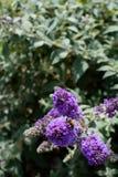 Honingbij op purpere buddleia Stock Afbeelding