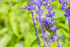 Honingbij op Purpere Salvia-bloem met aardachtergrond Stock Foto's