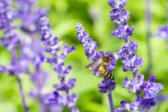 Honingbij op Purpere Salvia met aardachtergrond Stock Foto's