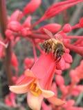Honingbij op rode yucca Stock Foto's