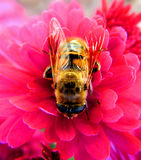 Honingbij op roze bloem   Royalty-vrije Stock Afbeelding