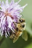 Honingbij op roze distel Royalty-vrije Stock Foto's