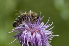 Honingbij op roze distel stock afbeelding