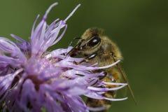Honingbij op roze distel Royalty-vrije Stock Fotografie