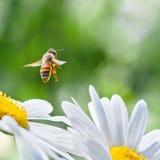 Honingbij tijdens de vlucht Stock Afbeeldingen