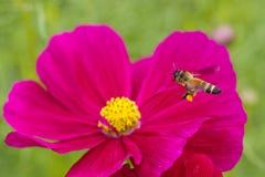 Honingbij van rode bloem wordt bestoven die Royalty-vrije Stock Foto