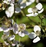 Honingbij in witte bloesems die nectar verzamelen royalty-vrije stock foto
