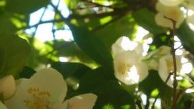 Honingbijen, aard, installaties, in de lentetijd stock footage