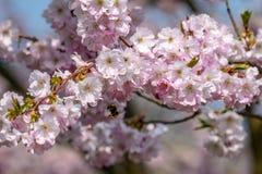 Honingbijen Apis die nectarstuifmeel van witte roze kersenbloesem verzamelen in de vroege lente royalty-vrije stock afbeelding