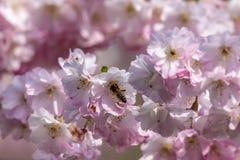 Honingbijen Apis die nectarstuifmeel van witte roze kersenbloesem verzamelen in de vroege lente stock fotografie