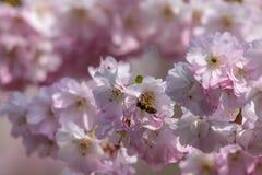 Honingbijen Apis die nectarstuifmeel van witte roze kersenbloesem verzamelen in de vroege lente stock afbeelding