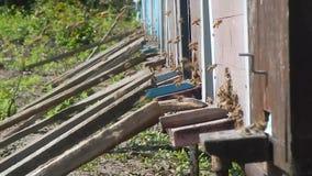 Honingbijen bij de bijenkorf, aard, installaties, in de lentetijd stock video