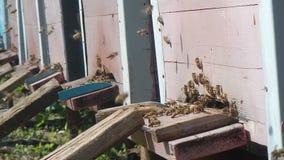 Honingbijen bij de bijenkorf, aard, installaties, in de lentetijd stock videobeelden