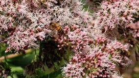 Honingbijen bij roze hennep-agrimony stock video