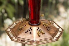 Honingbijen bij voeder Stock Afbeeldingen