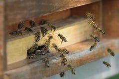 Honingbijen die in hun bijenkorf vliegen royalty-vrije stock afbeelding