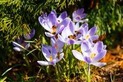 Honingbijen die stuifmeel verzamelen Stock Foto's