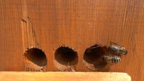 Honingbijen die die van bijenkorf opstijgen in langzame motie wordt gefilmd stock video