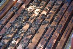 Honingbijen in een bijendoos die worden gehouden stock fotografie