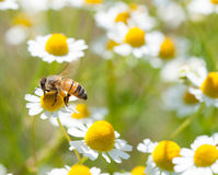 Honingbijen op bloem stock afbeeldingen