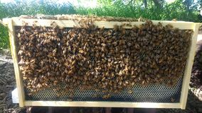 Honingbijen op Kader Stock Foto