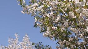Honingbijen stuifmeel en nectar verzamelen als voedsel voor de volledige kolonie, het bestuiven installaties en bloemen die - de  stock footage