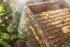 Honingbijen voor bijenkorfenterence Royalty-vrije Stock Fotografie