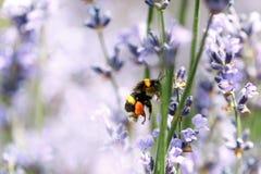 Honingbijzitting op bloem stock afbeeldingen
