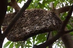 Honingbijzwerm het hangen Royalty-vrije Stock Afbeelding