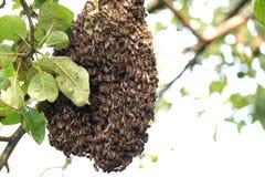 Honingbijzwerm op een appelboom Stock Afbeelding