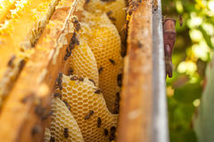 Honingraat, bijenkorfkader, ruw honingraatkader met honing Stock Fotografie