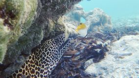 Honingraat Moray And Butterflyfish stock footage