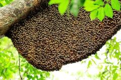 Honingraat op de boom Stock Fotografie
