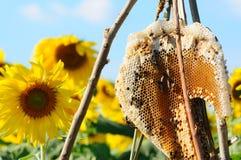 Honingraat op zonnebloemgebied Stock Foto