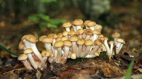 Honingspaddestoelen in de weide Royalty-vrije Stock Fotografie