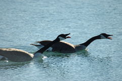 Honking Canada Geese. A pair of canada geese honk and threaten a rival pair Stock Photo